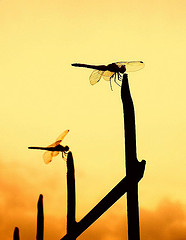 Dragonflies at sunset