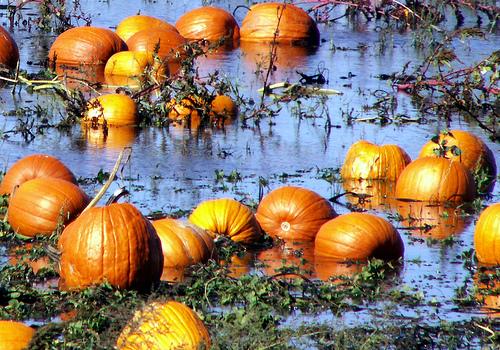 Flooded pumpkin patch