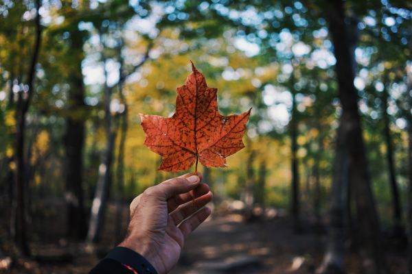 A photo of a hand holding a maple leaf, with a forest in the background.